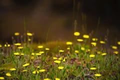 Gelbe Frühlingsblumen Lizenzfreie Stockfotografie