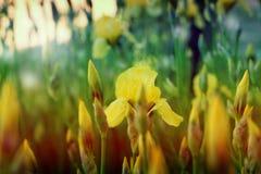 Gelbe Frühlingsblumen in einem Garten Universalschablone für Grußkarte, Webseite, Hintergrund Lizenzfreies Stockbild