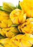 Gelbe Frühlingstulpen lizenzfreie stockfotos