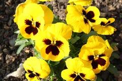 Gelbe Fr?hlingsblumen in einem Garten stockfotografie