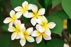 Gelbe Frangipaniblüte Stockfotos