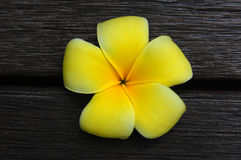 Gelbe Frangipaniblume lizenzfreie stockfotos