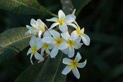 Gelbe Frangipaniblumen auf einem Baum stockfoto