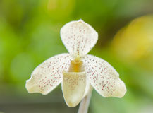 Gelbe Frauenschuh-Orchidee Stockbild