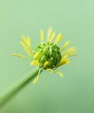 Gelbe frische grüne Reinheits-Blumen Stockbilder