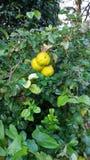 gelbe Fruchtgrün-Buschnatur Stockfotos