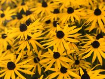 Gelbe Gänseblümchen Stockfotos