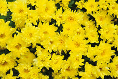 Gelbe Gänseblümchen Stockfotografie