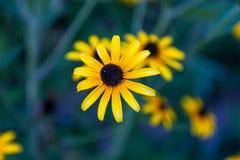 Gelbe Gänseblümchen auf einem blaugrünen Hintergrund Vervollkommnen Sie für Bildschirmschoner oder Tapete auf Schirm stockfoto