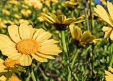 Gelbe Gänseblümchen in der Sonne Stockbild