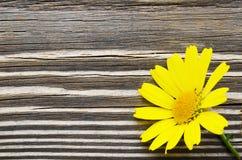 Gelbe Gänseblümchenblume über Holz Lizenzfreies Stockbild