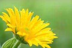 Gelbe Gänseblümchenblume stockfotografie