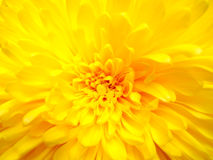 Gelbe Gänseblümchenblume Lizenzfreie Stockfotografie