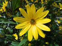 Gelbe Gänseblümchenblume Lizenzfreies Stockbild