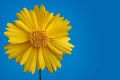 Gelbe Gänseblümchenblume auf blauem Hintergrund Stockfotografie