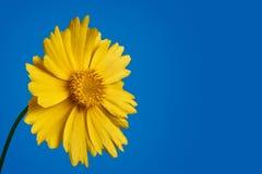 Gelbe Gänseblümchenblume auf blauem Hintergrund Lizenzfreies Stockfoto