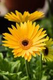 Gelbe Gänseblümchenblume, die im Garten blüht stockfotos
