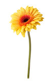 Gelbe Gänseblümchenblume lokalisiert auf Weiß Stockbild