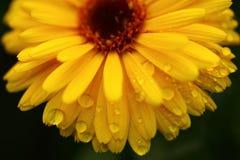Gelbe Gänseblümchenblume lokalisiert mit Wassertropfen Lizenzfreie Stockfotos