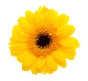 Gelbe Gänseblümchenblume mit waterdrops lizenzfreie stockfotos