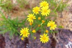 Gelbe Gänseblümchenblumen im Garten Lizenzfreie Stockfotografie