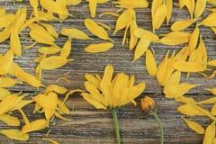 Gelbe Gänseblümchenblumen schließen oben mit den losen Blumenblättern lizenzfreies stockfoto