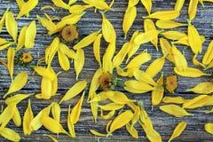 Gelbe Gänseblümchenblumenmitten schließen oben mit den losen Blumenblättern stockbilder