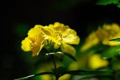 Gelbe Gartenblume auf einem schwarzen natürlichen Hintergrund Unscharfer schwarzer und grüner Hintergrund lizenzfreie stockbilder