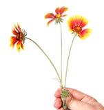 gelbe Gartenblumen in einer Hand Stockfoto