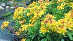 Gelbe Gartenblumen im Vordergrund Stockfoto