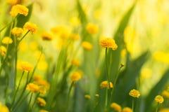 Gelbe Gartenbutterblumeen Helle gelbe Blumen Lizenzfreie Stockbilder