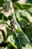 Gelbe Gartenkreuzspinne in ihrem Netz mit Opfer Stockfotografie