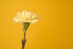 Gelbe Gartennelke Stockbilder