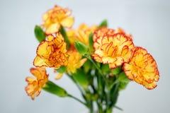 Gelbe Gartennelke Lizenzfreie Stockfotos