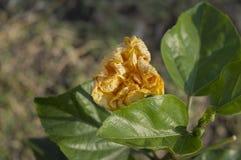 Gelbe Gartennelke, die trocken erhält Lizenzfreie Stockfotografie