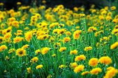 Gelbe Gartennelken Stockbild