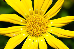 Gelbe Gazaniablume Lizenzfreies Stockfoto