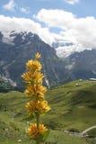Gelbe Gebirgsblume Stockbild
