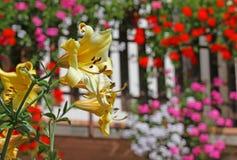 Gelbe Gebirgslilienblume mit dem Hintergrund anderer Blumen Lizenzfreies Stockfoto