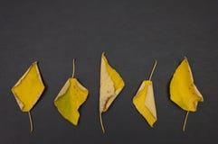 Gelbe gefallene Blätter des Herbstes in der Reihe auf dunkelgrauem Hintergrund Stockfoto