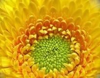 Gelbe gerber Nahaufnahme Stockbild