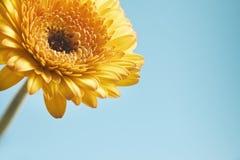 Gelbe Gerberablume auf blauem Hintergrund Stockbilder