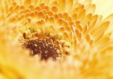 Gelbe Gerberablume auf blauem Hintergrund Lizenzfreies Stockfoto