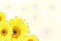 Gelbe Gerberablume auf weißem Hintergrund Lizenzfreies Stockfoto