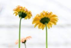 Gelbe Gerberas im Garten Stockbilder
