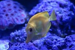 Gelbe Geruch zebrasoma Meerwasseraquariumfische stockfoto