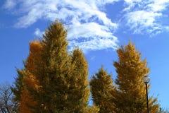 Gelbe Ginkgobäume im Park Stockbild