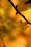 Gelbe Ginkgoblätter Stockfoto