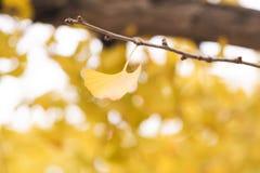 Gelbe Ginkgoblätter im Herbst Lizenzfreie Stockfotos
