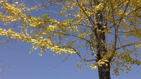 Gelbe ginko Blätter stock video footage